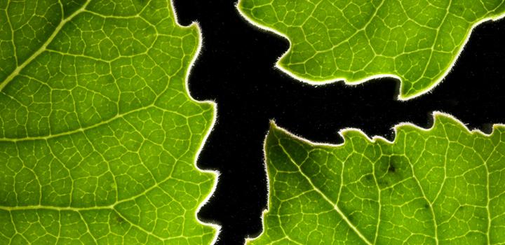 Cottonwood_leaves_IDEA-Lab-ek