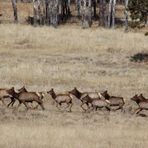 Elk herd on the Valles Caldera National Preserve