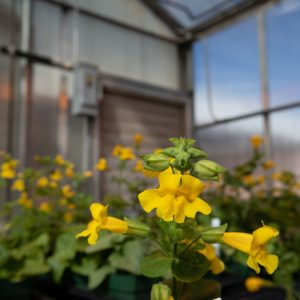 small yellow flowers in greenhouse on campus