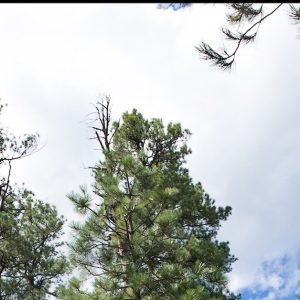 photo of pine trees and the sky