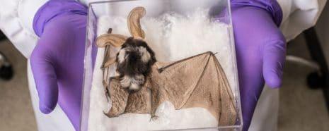 Spotted Bat Mummy