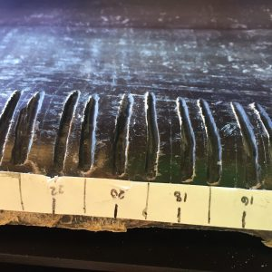 Bowhead baleen sample with measurements
