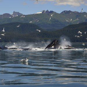Seagulls circles breaching whales