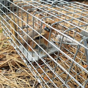 Golden mantled ground squirrel with devices
