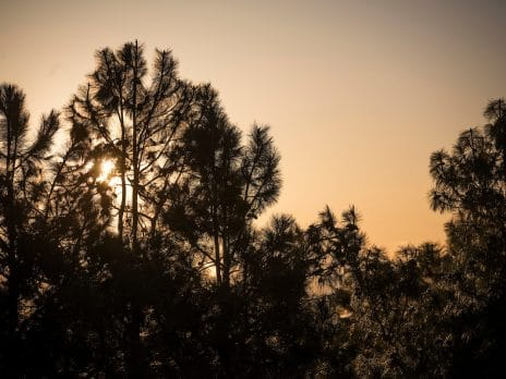 Pine tree sunset